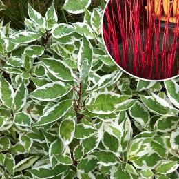 Sanger Decorativ - Cornus Alba - Arbusti ornamentali - AgroDenmar.ro