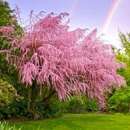 Tamarix tetrandra - Arbusti ornamentali - AgroDenmar.ro