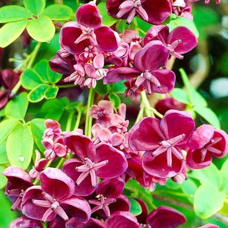 Vita de ciocolata - Arbusti ornamentali - AgroDenmar.ro
