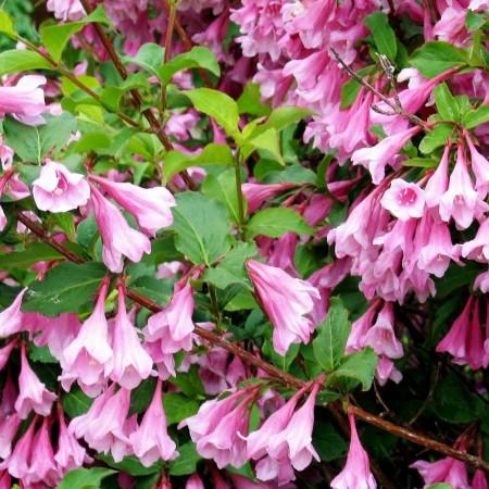 Weigela Bouquet Rose - Arbusti ornamentali - AgroDenmar.ro
