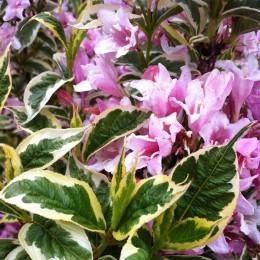 Weigela Florida Variegata - tip copac - Arbusti ornamentali - AgroDenmar.ro