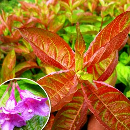 Weigela florida - Wings of Fire - Arbusti ornamentali - AgroDenmar.ro