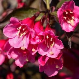 Weigela Tango - Arbusti ornamentali - AgroDenmar.ro