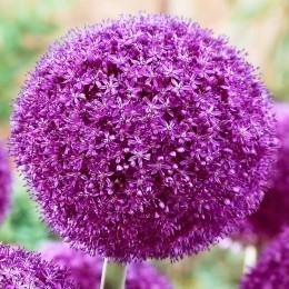 Allium Ambassador - Bulbi de flori - AgroDenmar.ro