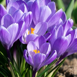 Branduse albastre - Crocus Queen of the Blues - Bulbi de flori - AgroDenmar.ro