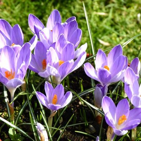 Branduse bicolore - Crocus Vanguard - Bulbi de flori - AgroDenmar.ro