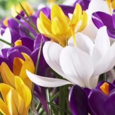 Branduse colorate cu flori mari - Crocus Mix