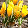 Branduse galbene - Crocus Yellow