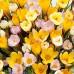 Branduse galbene - Crocus Yellow - Bulbi de flori - AgroDenmar.ro