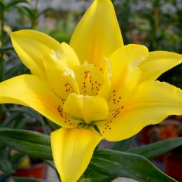 Crini Fata Morgana - Bulbi de flori - AgroDenmar.ro