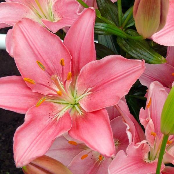 Crini Foxtrot - Bulbi de flori - AgroDenmar.ro
