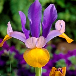Iris Frans Hals - Bulbi de flori - AgroDenmar.ro