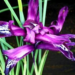 Iris Pauline - Bulbi de flori - AgroDenmar.ro