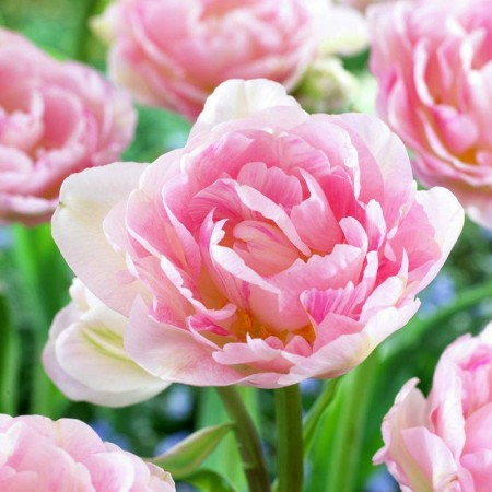Lalele Angelique - Bulbi de flori - AgroDenmar.ro