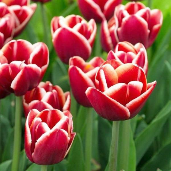 Lalele Armani - Bulbi de flori - AgroDenmar.ro