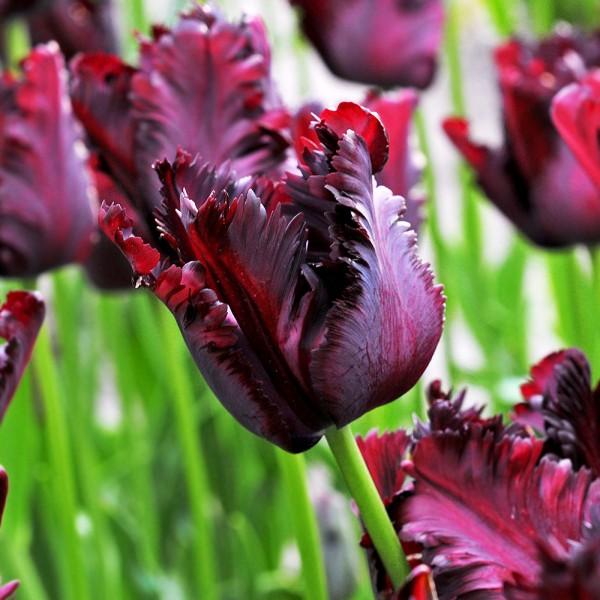 Lalele Black Parrot - Bulbi de flori - AgroDenmar.ro