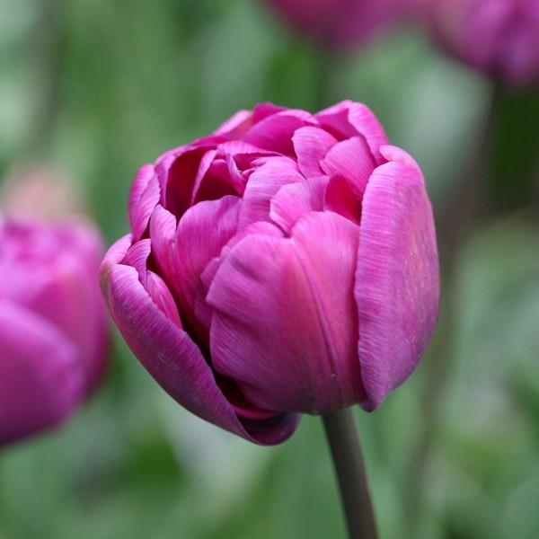 Lalele Blue Diamond - Bulbi de flori - AgroDenmar.ro