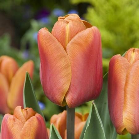 Lalele Brown Sugar - Bulbi de flori - AgroDenmar.ro