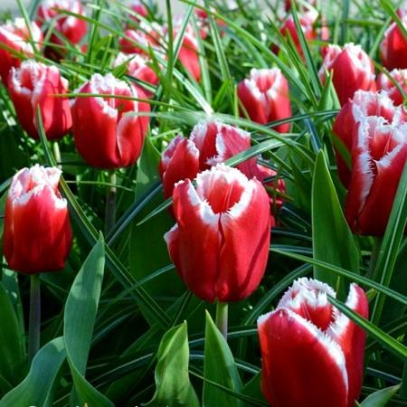 Lalele Canasta - Bulbi de flori - AgroDenmar.ro