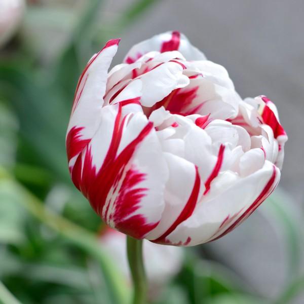 Lalele Carnaval de Nice - Bulbi de flori - AgroDenmar.ro