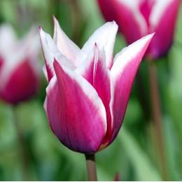Lalele Claudia - Bulbi de flori - AgroDenmar.ro