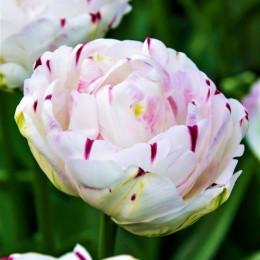 Lalele Danceline - Bulbi de flori - AgroDenmar.ro