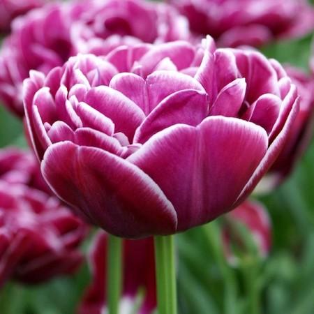 Lalele Dream Touch - Bulbi de flori - AgroDenmar.ro