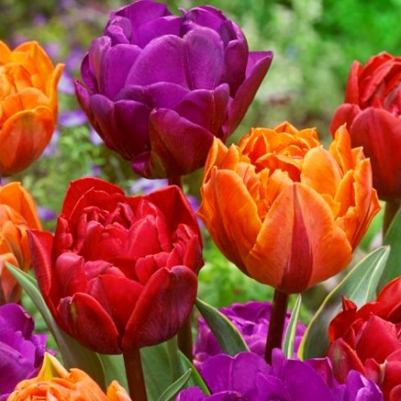 Lalele Duble Mixed - Bulbi de flori - AgroDenmar.ro