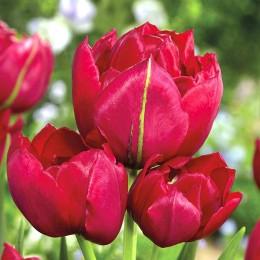 Lalele Estatic - Bulbi de flori - AgroDenmar.ro