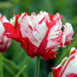 Lalele Estella Rijnveld - Bulbi de flori - AgroDenmar.ro