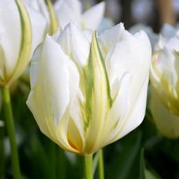 Lalele Exotic Emperor - Bulbi de flori - AgroDenmar.ro