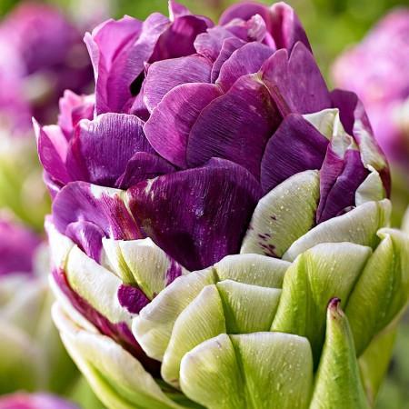 Lalele Exquisit - Bulbi de flori - AgroDenmar.ro