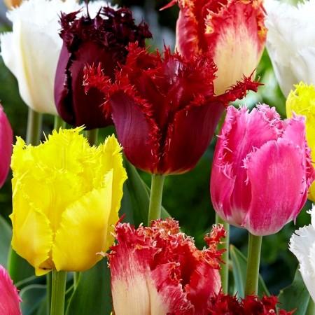Lalele Fringed Mixed - Bulbi de flori - AgroDenmar.ro