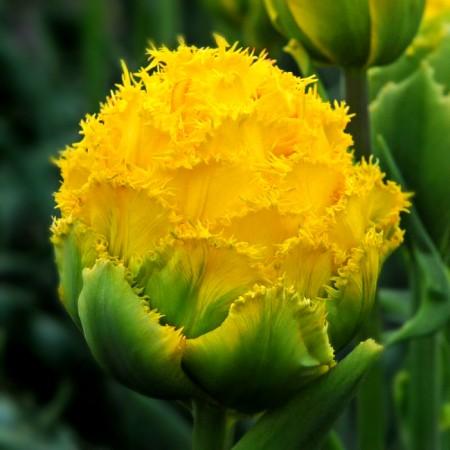Lalele Golden Gate - Bulbi de flori - AgroDenmar.ro