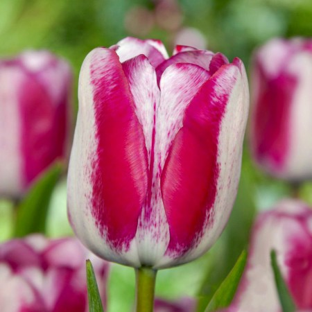 Lalele Hotpants - Bulbi de flori - AgroDenmar.ro