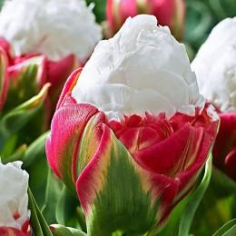 Lalele Ice Cream - Bulbi de flori - AgroDenmar.ro