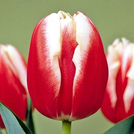 Lalele Leen van der Mark  - Bulbi de flori - AgroDenmar.ro