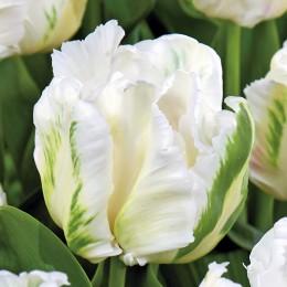 Lalele Madonna  - Bulbi de flori - AgroDenmar.ro