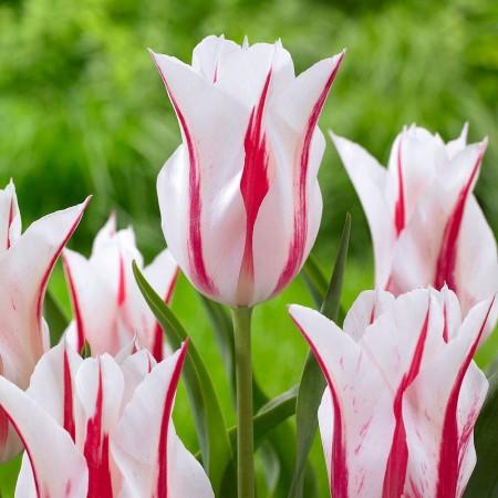 Lalele Marilyn - Bulbi de flori - AgroDenmar.ro