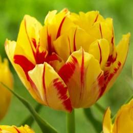 Lalele Monsella - Bulbi de flori - AgroDenmar.ro