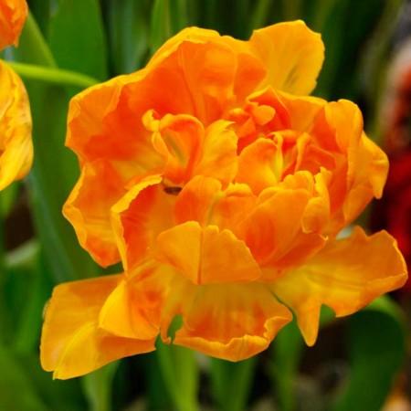 Lalele Orca - Bulbi de flori - AgroDenmar.ro