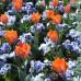 Lalele Princess Irene - Bulbi de flori - AgroDenmar.ro