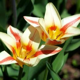 Lalele Quebec - Bulbi de flori - AgroDenmar.ro