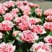 Lalele Queensland - Bulbi de flori - AgroDenmar.ro
