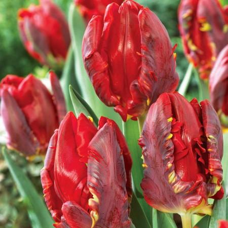 Lalele Rococo - Bulbi de flori - AgroDenmar.ro