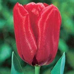 Lalele Seadov - Bulbi de flori - AgroDenmar.ro