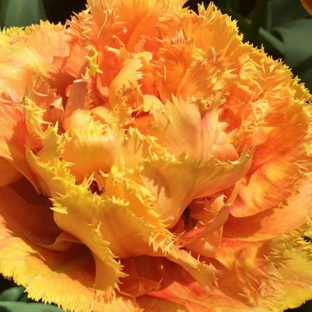 Lalele Sensual Touch - Bulbi de flori - AgroDenmar.ro