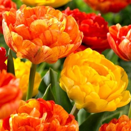 Lalele Sunlover - Bulbi de flori - AgroDenmar.ro