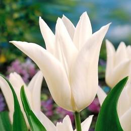 Lalele White triumphator