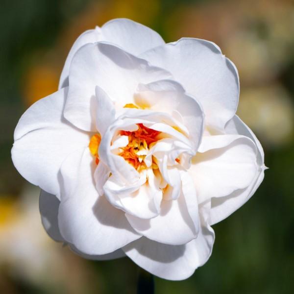 Narcise Acropolis - Bulbi de flori - AgroDenmar.ro
